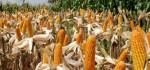 Musim Tanam Jagung Disambut Panen Simbolis oleh Warga Rote