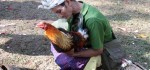 Tradisi Unik Ritual Sabung Ayam Massal di Ubud