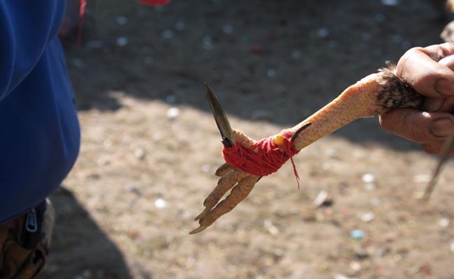 Hasil gambar untuk pisau taji sabung ayam