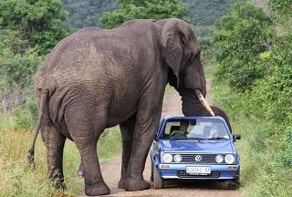 Gajah Milik Bakas Levi Rafting Ngamuk Tewaskan Pemiliknya