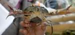 Ratusan Kepiting Siap Telur Disita di Cargo Domestik Bandara Ngurah Rai