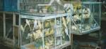 Polsek Denbar Amankan Puluhan Ekor Burung Ocehan