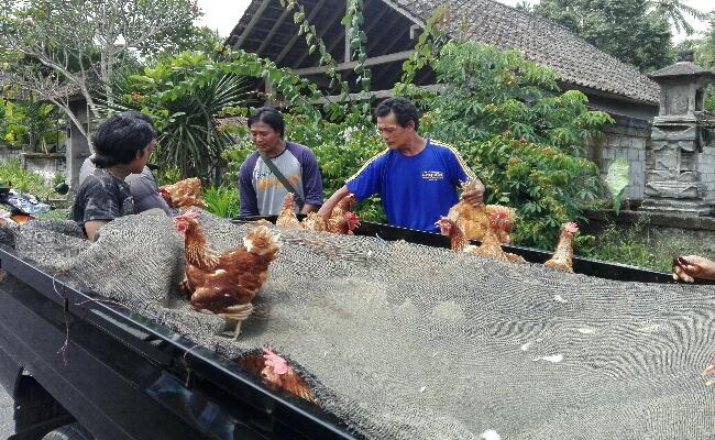 Peternak ayam dari desa Muncan, Kabupaten Karangasem, Bali menjual murah ayam ternaknya untuk menghindari kerugian jika sewaktu-waktu Gunung Agung erupsi - foto: Wahyu Siswadi/Koranjuri.com