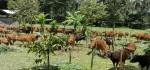 Disnak Bali Siapkan Posko Evakuasi Ternak, Peternak Ayam Banting Harga
