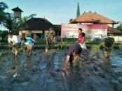 Penyuluh Pertanian Lapangan (PPL) TNI dari Kodim 1616/Gianyar membantu warga meningkatkan produksi panen padi dengan pola tanam Jajar Legowo - foto: Istimewa