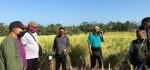 Dinas Pertanian Gianyar Dorong Petani Tanam Padi Hibrida Sterling, Ini Kelebihannya