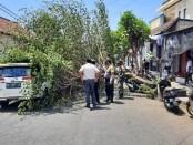 Pohon Singapur, atau pohon Kersen atau talok, tumbang usai tersangkut badan truk tronton di Desa/Kecamatan Sukawati, Gianyar, Senin (31/8/2020) - foto: Catur/Koranjuri.com