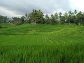 Sistem pertanian Terasiring yang banyak dikembangkan di Bali - foto: Koranjuri.com
