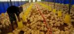 Diserbu Distributor Besar, Peternak Ayam Potong Lokal di Rote Ndao Terancam Gulung Tikar
