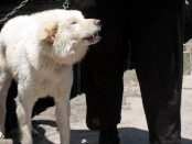 Dari Desa Sukawani, Kintamani, Bangli, anjing lokal pegunungan yang popular dengan anjing Kintamani ini berkembangbiak, kemudian menyebar dan akhirnya menjadi anjing ras pertama di Indonesia yang diakui dunia - foto: Wahyu Siswadi/Koranjuri.com