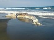 Bangkai paus yang terdampar di Pantai Yeh Kuning Jembrana - foto: Istimewa