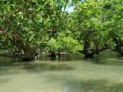 Kawasan hutan Mangrove Ndii Lifu atau Danau Air yang bakal dikembangkan sebagai areal konservasi dan wisata religi di Dusun Baudale, Desa Maubesi, Kecamatan Rote Tengah, Kabupaten Rote Ndao, Nusa Tenggara Timur - foto: Isak Doris Faot/Koranjuri.com