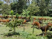 Pos evakuasi ternak di desa Nongan, Kecamatan Rendang Karangasem, yang sanggup menampung 600 ekor ternak sapi - foto: Wahyu Siswadi/Koranjuri.com