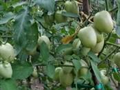 Tanaman tomat yang dikembangkan Letnan Satu Inf. Alexander dan Kopral Jimmi Fek yang kesehariannya bertugas di Kodim 1627 Rote Ndao - foto: Isak Doris Faot/Koranjuri.com