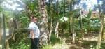 Pohon Gaharu yang Ditawar Rp 3 Milyar, Pemiliknya Belum Lepas