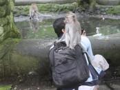 Interaksi primata di Monkey Forest Ubud dengan pengunjung - foto: Koranjuri.com