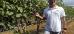 Bali Ciptakan Sejarah, Setelah 17 Tahun Dibudidayakan Anggur Syrah Akhirnya Panen Perdana