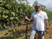 Ida Bagus Rai Budarsa saat panen perdana anggur jenis Syras yang dibudidayakan selama 17 tahun di Desa Sanggalangit, Buleleng Utara, Bali Barat - foto: Koranjuri.com
