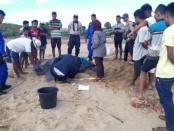 Penyu Belimbing seberat 100 kg yang tanpa sengaja terjaring di pukat seorang nelayan di Siodema, Rote Ndao, NTT, dikembalikan lagi ke habitatnya - foto: Isak Doris Faot/Koranjuri.com