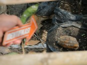 Granat nanas yang ditemukan warga di Desa Kuwayuh, Kecamatan Pejagoan, Kebumen, kini sudah ditangani polisi - foto: Sujono/Koranjuri.com