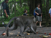 Kunjungan wisatawan di obyek wisata Monkey Forest Ubud di era post normal - foto: Koranjuri.com