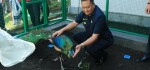 Sepasang Merak jadi Penghuni Baru Taman Kantor Pemkab Gianyar