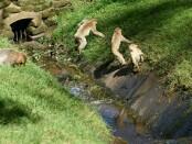 Kawanan monyet di Obyek Wisata Monkey Forest - foto: Ilustrasi/Catur/Koranjuri.com