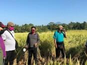 Aktivitas Distan Gianyar saat meninjau panen padi hibrida sterling di salah satu subak di Kabupaten Gianyar - foto: Catur/Koranjuri.com