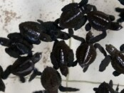 Tukik-tukik yang akan dilepaskan oleh Kelompok Nelayan Saba Asri - foto: Catur/Koranjuri.com