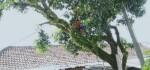 Berikut Alur Permohonan Pemangkasan Pohon Perindang di Gianyar