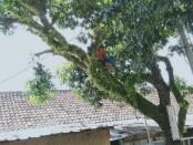 Ilustrasi pemangkasan pohon - foto: Istimewa