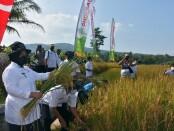 Wabup Purworejo Yuli Hastuti, ikut memanen padi dalam acara Selametan Selametan Wiwitan Panen di Desa Karangrejo, Loano, Rabu (03/03/2021) - foto: Sujono/Koranjuri.com