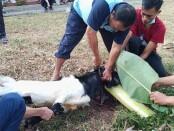 Penyembelihan hewan kurban di SMKN 8 Purworejo, Kamis (22/07/2021) - foto: Sujono/Koranjuri.com